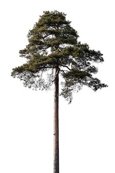 Kiefer lokalisiert auf einem weißen hintergrund. nadelbaum