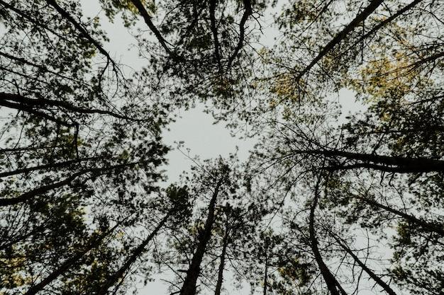 Kieferkronen auf dem hintergrund des himmels