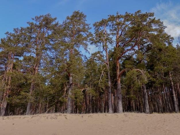 Kiefern am sandigen ufer des finnischen meerbusens
