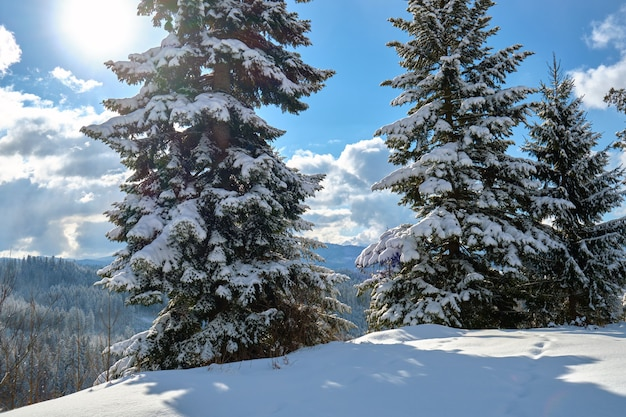 Kiefern bedeckt mit frisch gefallenem schnee im winterbergwald an einem kalten, hellen tag.