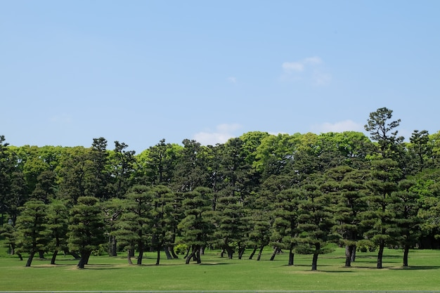 Kiefern, die im park in tokyo-mitte, japan wachsen