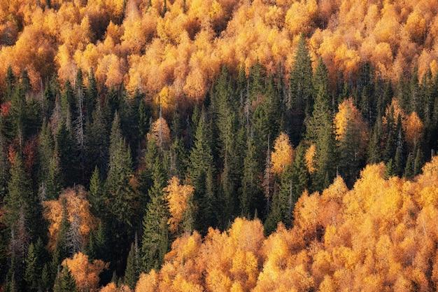 Kiefern, herbstbäume hintergrund von weitem.