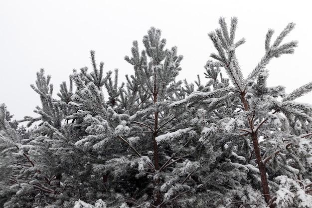 Kiefern im wald, im winter nahaufnahme. weißer himmel im hintergrund bei bewölktem wetter. auf den ästen liegt schnee gefallen