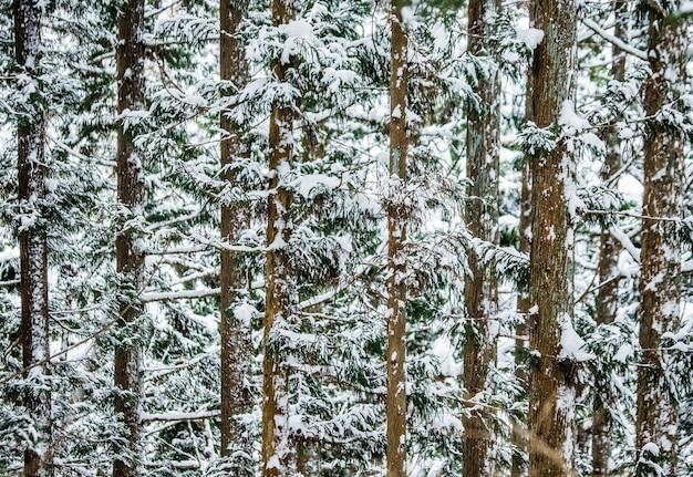 Kiefern im winterwald. waldfragment. japan. nagano. jigokudani affenpark.