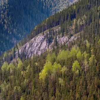 Kiefern in einem wald, jasper national park, alberta, kanada