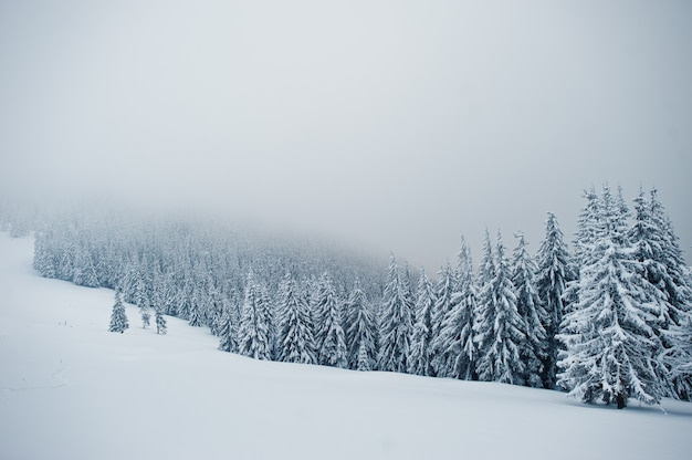 Kiefern mit schnee bedeckt auf berg chomiak, schöne winterlandschaften der karpaten, ukraine, majestätische frostnatur,