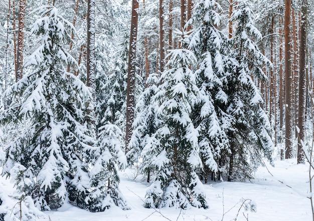 Kiefern- und tannenbäume im schnee im wald im winter. szenische frostlandschaft.
