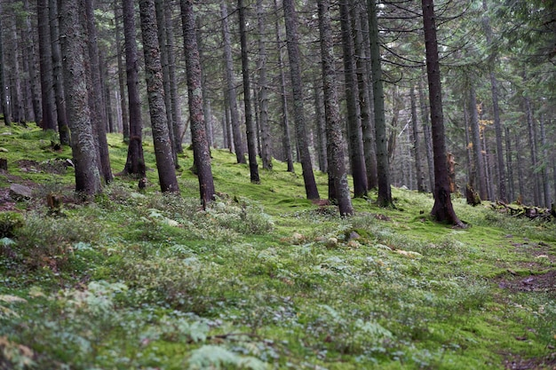 Kiefernbergwald herbstsaison schöne landschaft horizontales foto
