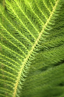 Kiefernblätter in tropischen