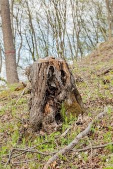 Kiefernforstwirtschaft an einem sonnigen tag. stümpfe und baumstämme zeigen, dass übernutzung zu abholzung führt, die die umwelt und die nachhaltigkeit gefährdet