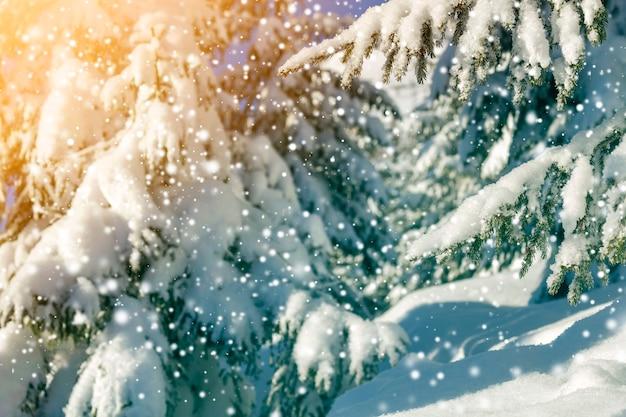 Kieferniederlassungen mit grünen nadeln bedeckt mit tiefem frischem sauberem schnee auf unscharfem blauem kopienraumhintergrund im freien. grußpostkarte der frohen weihnachten und des guten rutsch ins neue jahr. weicher lichteffekt.
