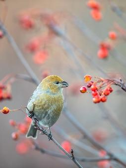 Kiefernkernschnabel, pinicola-enukleator, weiblicher vogel, der sich von beeren ernährt, schöne herbstfarben