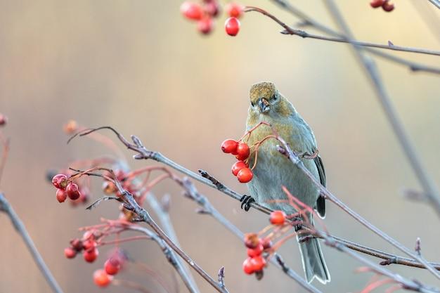Kiefernkernschnabel, pinicola-enukleator, weiblicher vogel, der sich von beeren ernährt