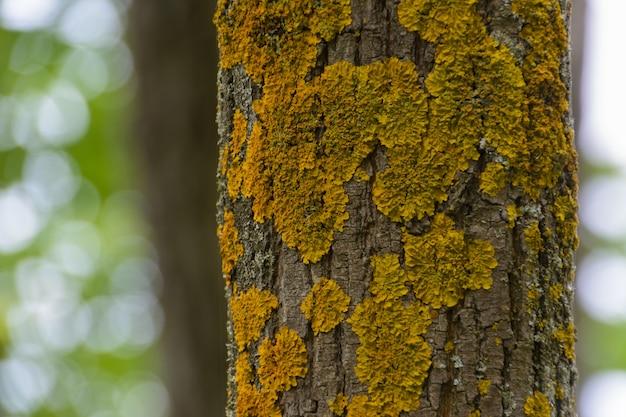Kiefernkiste mit gelbem moos in einem kiefernwald bedeckt. textur, unscharfer hintergrund.