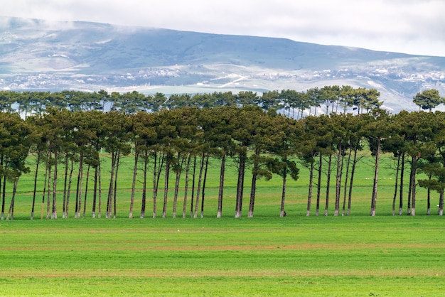 Kiefernpflanzungen auf grünen farmfeldern
