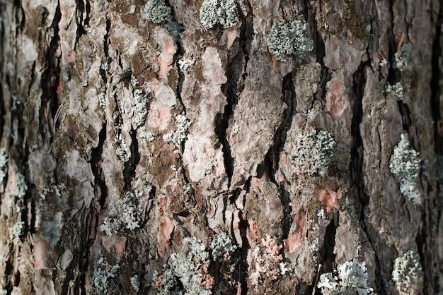 Kiefernrinde und moos textur, nahaufnahme. baumhintergrund an einem sonnigen tag draußen
