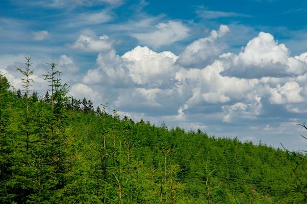 Kiefernwald im sommer in sudetes, polen