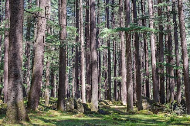 Kiefernwald in manali, bundesstaat himachal pradesh, indien. schöner deodarwald