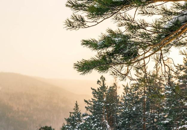 Kiefernzweig auf einem unscharfen hintergrund des sonnenuntergangs in den bergen. natürlicher winterhintergrund