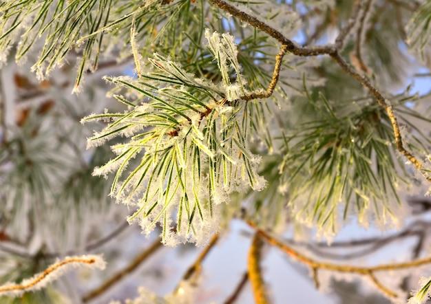 Kiefernzweig im winter. lange nadeln des weihnachtsbaums mit schnee und frost bedeckt