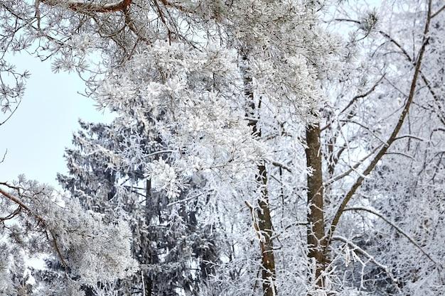 Kiefernzweig. wintermischwald. bäume mit weißem schnee bedeckt