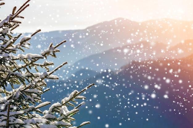Kiefernzweige mit grünen nadeln bedeckt mit tiefem frischem sauberem schnee auf unscharfem blauem kopienraumhintergrund im freien.