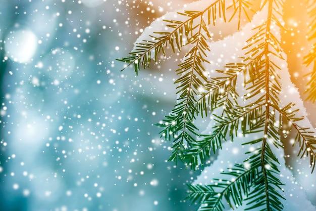 Kiefernzweige mit grünen nadeln bedeckt mit tiefem frischem sauberem schnee