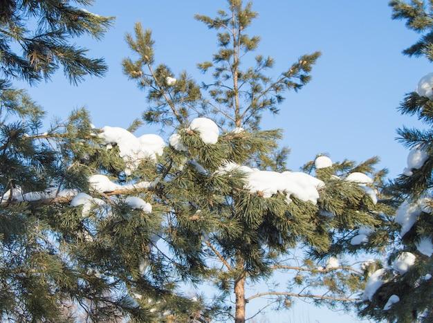 Kiefernzweige mit schneeverwehungen im winterwald bedeckt. ein echter winter- und weihnachtshintergrund