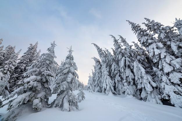 Kieferwald im winter mit tiefem schnee.