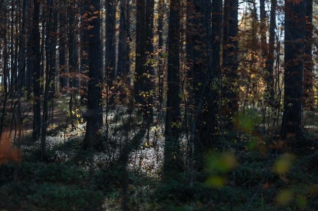 Kieferzweige unter dem sonnenlicht im frühherbst in russland