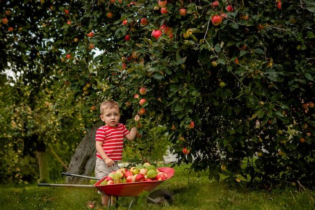 Kind, das äpfel auf einer farm pflückt. kleiner junge, der im apfelbaumobstgarten spielt. kid pflücken obst und legen sie in eine schubkarre. baby, das gesunde früchte bei der herbsternte isst. outdoor-spaß für kinder