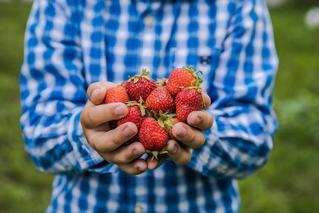 Kind, das an einem sonnigen sommertag erdbeeren auf dem obsthoffeld pflücken. kinder halten in seiner hand frische reife bio-erdbeeren
