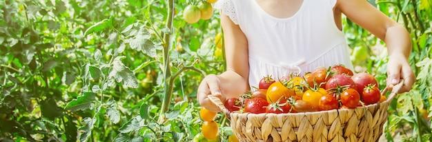 Kind sammelt eine ernte von hausgemachten tomaten. selektiver fokus.