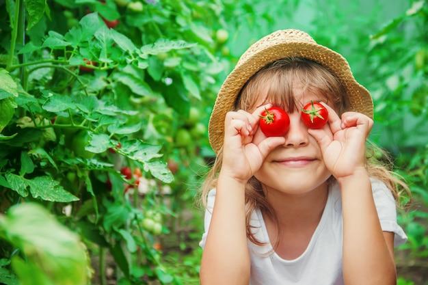 Kind sammelt eine ernte von selbst gemachten tomaten. selektiver fokus.