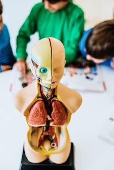 Kinder in einem klassenzimmer unter verwendung eines anatomischen modells des menschlichen körpers.