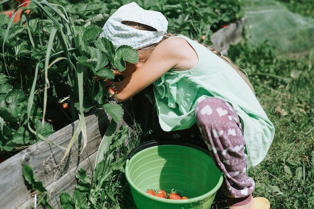 Kindermädchen, das reife erdbeeren in der sommersaison auf bio-erdbeerfarm pflückt.