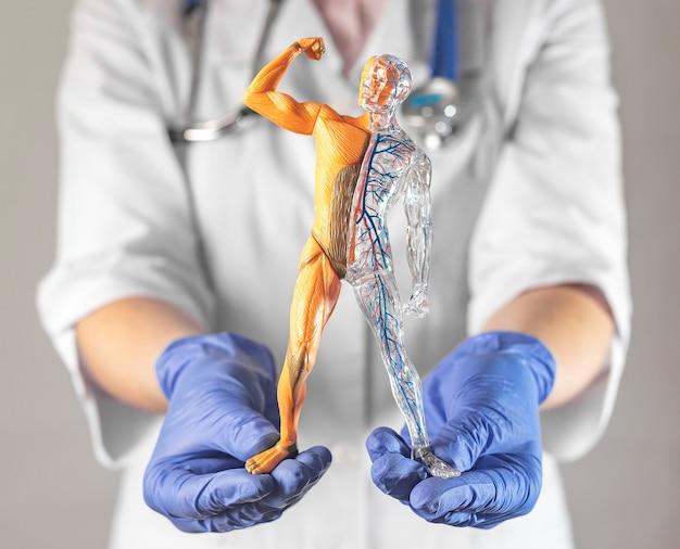 Kinderspielzeug des menschlichen körpers für die ausbildung in den händen des körpers, des kreislaufs und der muskulatur und ...