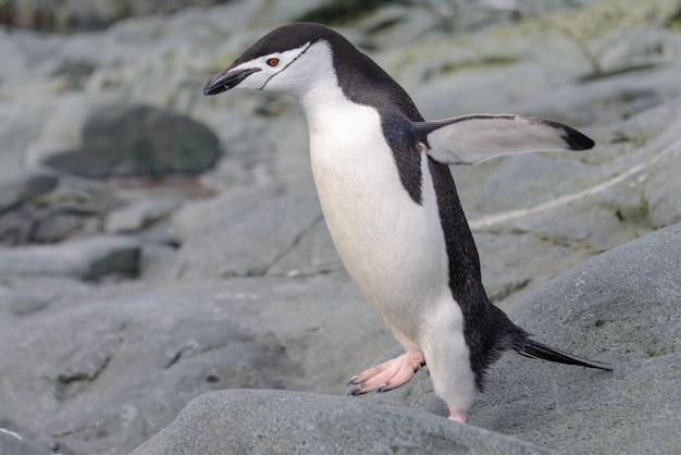 Kinnriemenpinguin auf dem schnee in der antarktis