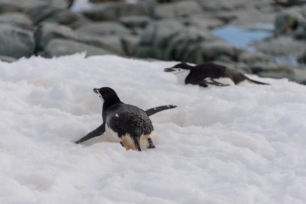 Kinnriemenpinguin, der auf schnee kriecht