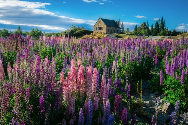 Kirche des guten hirten und lupinenfeldes, lake tekapo