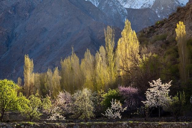 Kirsch- und aprikosenblüte im hunza-gebirgstal pakistan. foto in hoher qualität