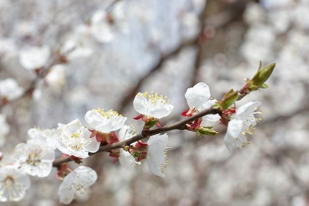 Kirschbaum in voller blüte. frühlings- und romantikkonzept. weiße blumen