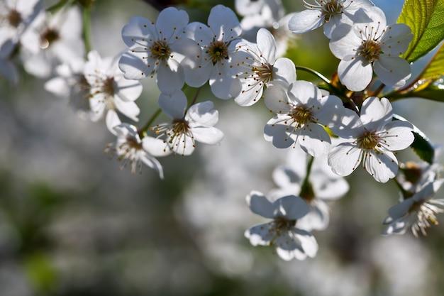 Kirschbaum zweig im frühjahr