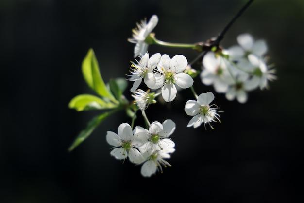 Kirschbaumzweig mit weißen blüten auf dunklem hintergrund