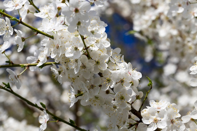 Kirschblätter und blütenstände