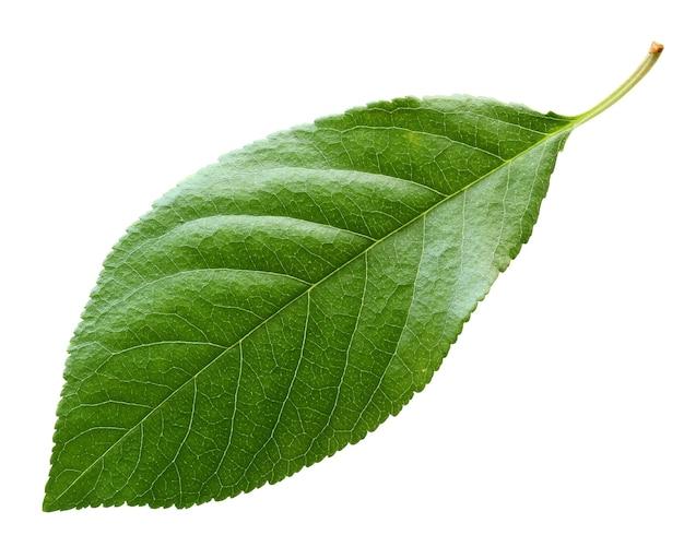 Kirschblatt lokalisiert auf weißem hintergrund. ein grünes frisches blatt. herbarium, laubpflanzen.