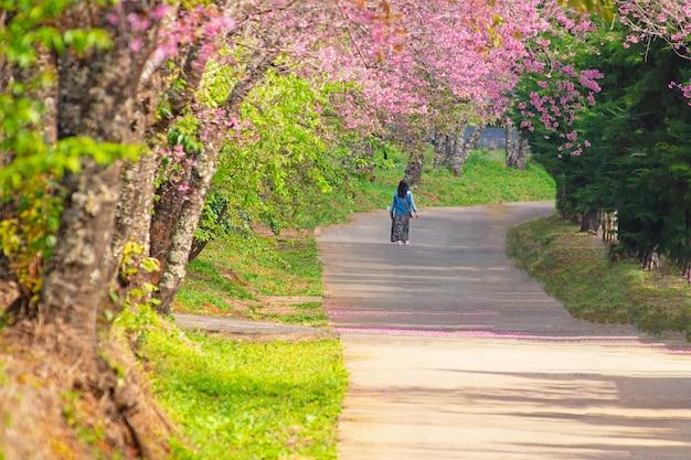 Kirschblüte am frühling morgens nördlich von thailand