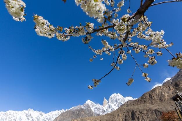Kirschblüte an lady finger und hunza-gipfel mit schnee bedeckt hunza-tal, gilgit-baltistan, pakistan.