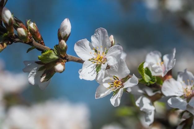 Kirschblüte auf blauem himmelhintergrund