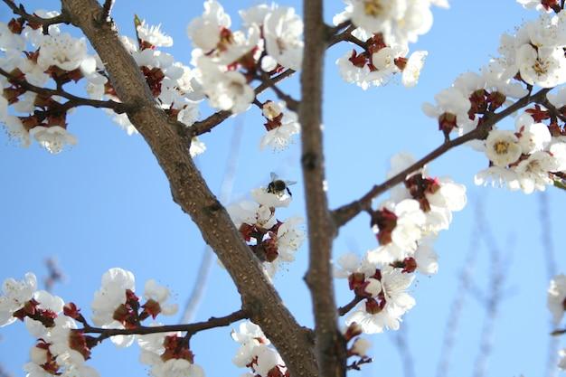 Kirschblüte. blühender aprikosenbaum mit bestäubender honigbiene